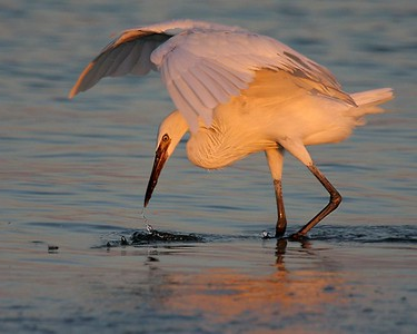 Reddish Egret (White Morph), sunrise at Ft DeSoto North Beach, surf side. Light was awesome at dawn and really added a red glow (fitting I guess for a reddish egret that is white to have a reddish glow).