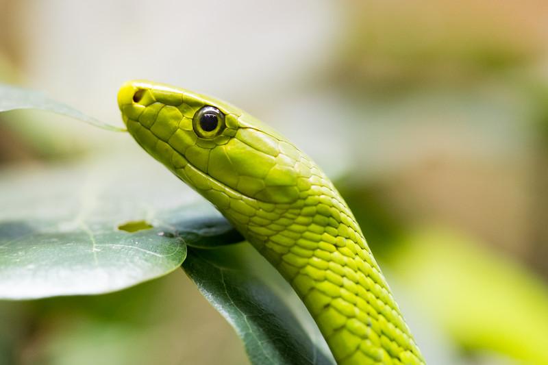 Eastern Green Mamba