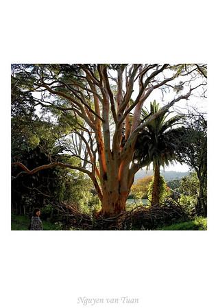 Gum tree Mt St John Auckland New Zealand