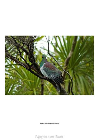 Kereru NZ native wood pigeon Tiritiri Matangi Island New Zealand