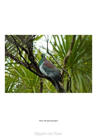 Kereru NZ native wood pigeon Tiritiri Matangi Island New Zealand