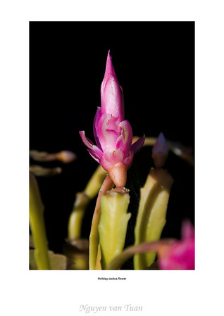 Holiday cactus flower