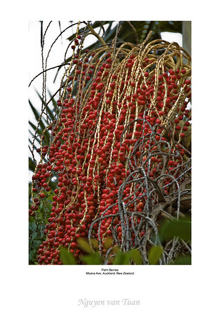 Palm berries