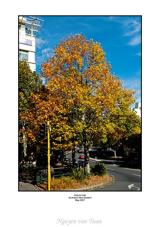 Autumn tree Auckland New Zealand
