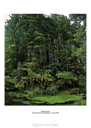 Redwood grove Hamurana Springs New Zealand
