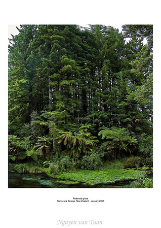 Redwood grove Hamurana Springs New Zealand