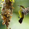 Olive Backed Sunbird (female)