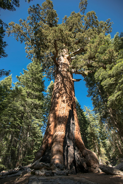 Mariposa Grove - Grizzly