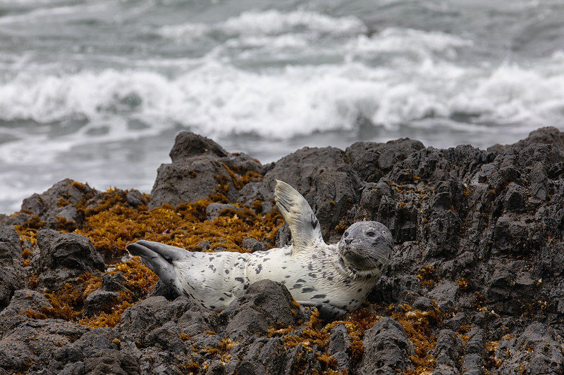 Harbor Seal pup, Oregon, USA