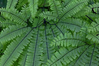 Maidenhair Ferns, Olympic National Park, Washington, USA