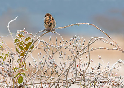 House sparrow on a frosty morning