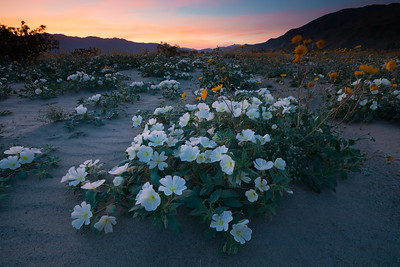 Blooming desert flowers at sunset, Anza-Borrego Desert State Park, California