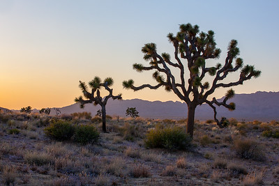 Joshua Trees, Joshua Tree National Park, California