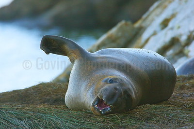 Wintering Elephant Seal Pup