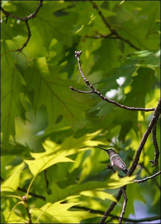 Hummingbird among the Maples
