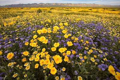 Superbloom in Carrizo Plain National Monument, California