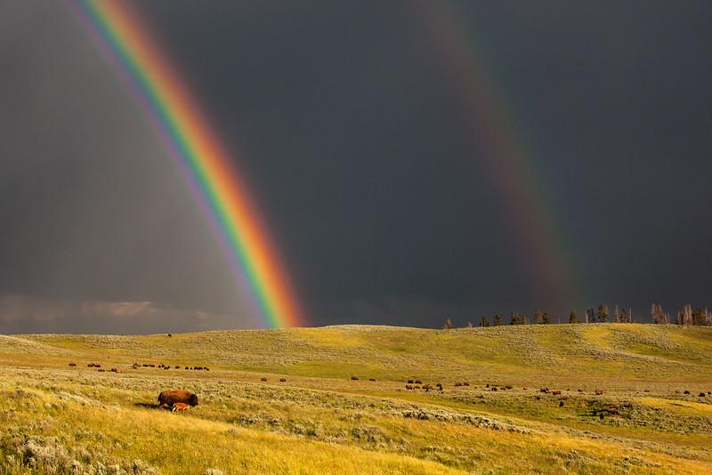 Bison and Rainbow, Yellowstone, Wyoming