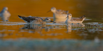 Wilson's Phalaropes Feeding