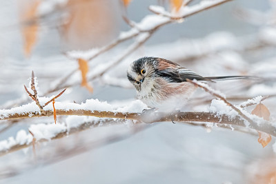 Long Tailed Tit in the Snow