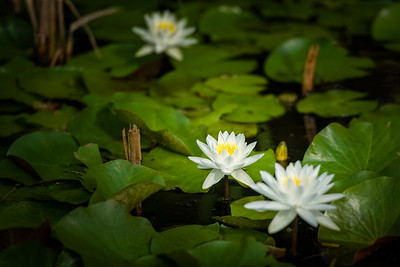 Alligator River Water-Lily