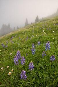 Wildflower Meadow, Olympic National Park, Washington