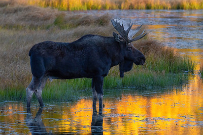 Bull Moose, Rocky Mountain National Park, Colorado, USA