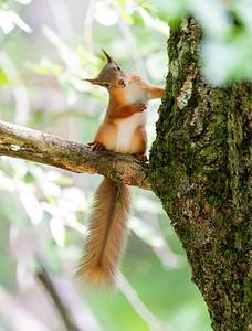 Red Squirrel Kitten