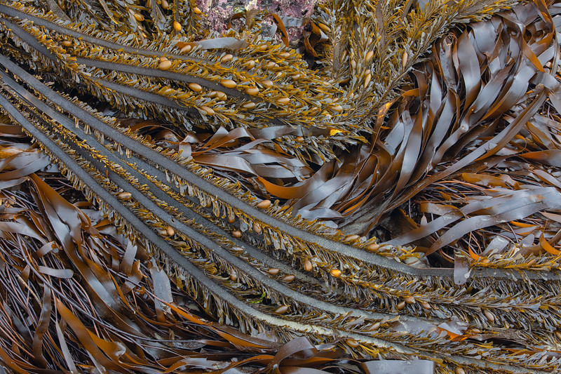 Kelp, Bandon Beach, Oregon, USA
