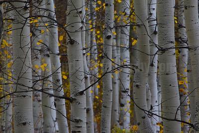 Fall Aspen Abstract