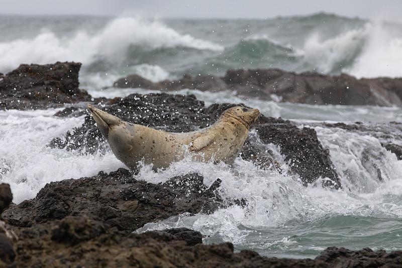 Harbor Seal and crashing waves, Oregon, USA
