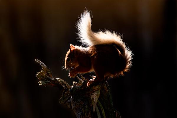 Red Squirrel, Rothiemurchus