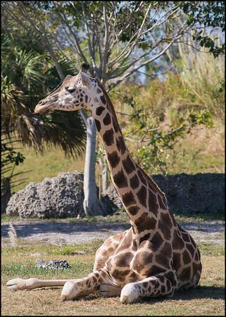 Resting Giraffe