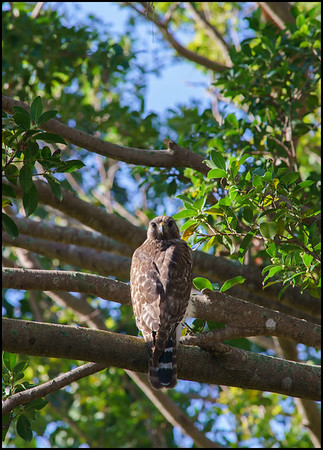 Short-Tail Hawk