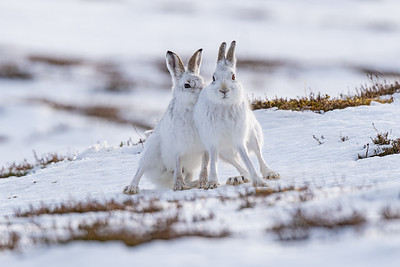 Courting Hares