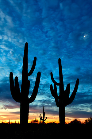 Saguaro cacti silhuetted against the sky as night turns to day, Organ Pipe Cactus National Monument, Arizona