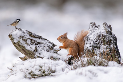 Red Squirrel/Coal Tit stand-off, Cairngorms
