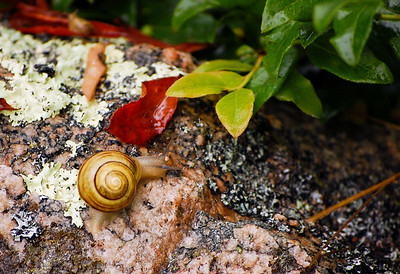 Bar Harbor Snail