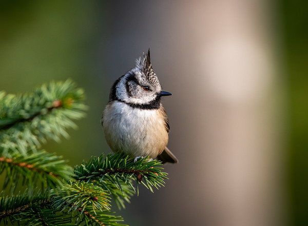 Crested Tit, Black Isle