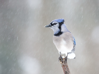 """Oh so Blue"" American Blue Jay"