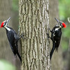 Dueling Pileated Woodpeckers