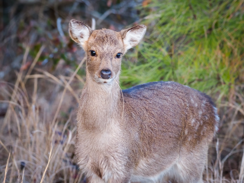 Sika deer - yearling