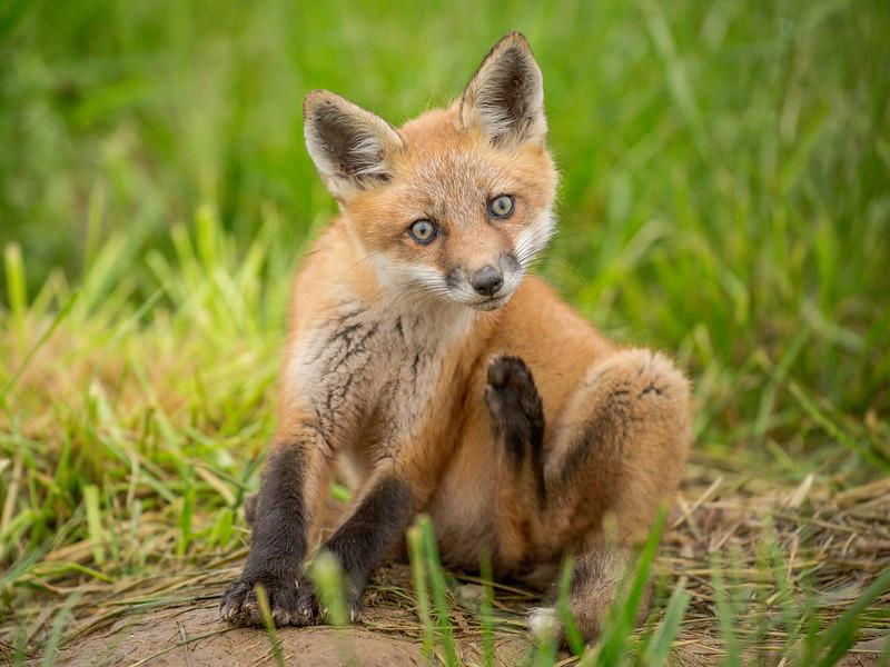 Red Fox Kit at Bombay Hook NWR