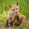 Red Fox Kit at Bombay Hook NWR