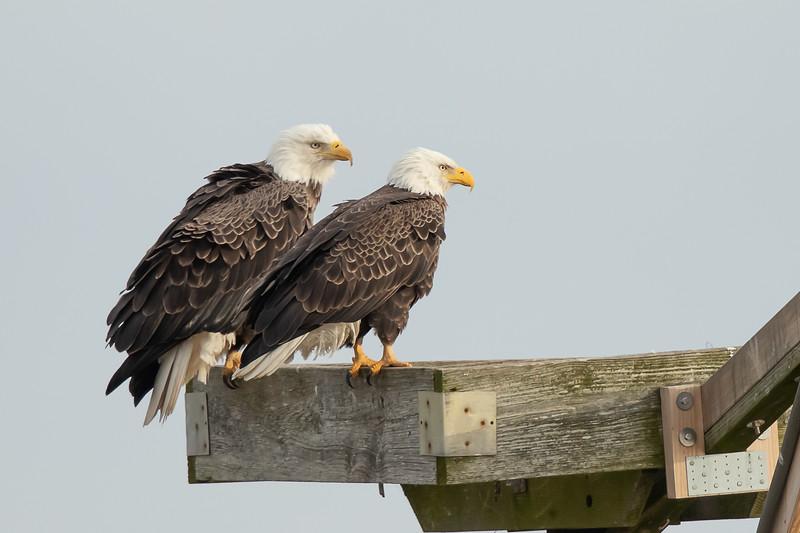 American Bald Eagle pair at Blackwater NWR