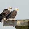 American Bald Eagle pair at Blackwater NWR