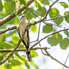 Yellow-billed Cuckoo at Patuxent Research Refuge North Tract