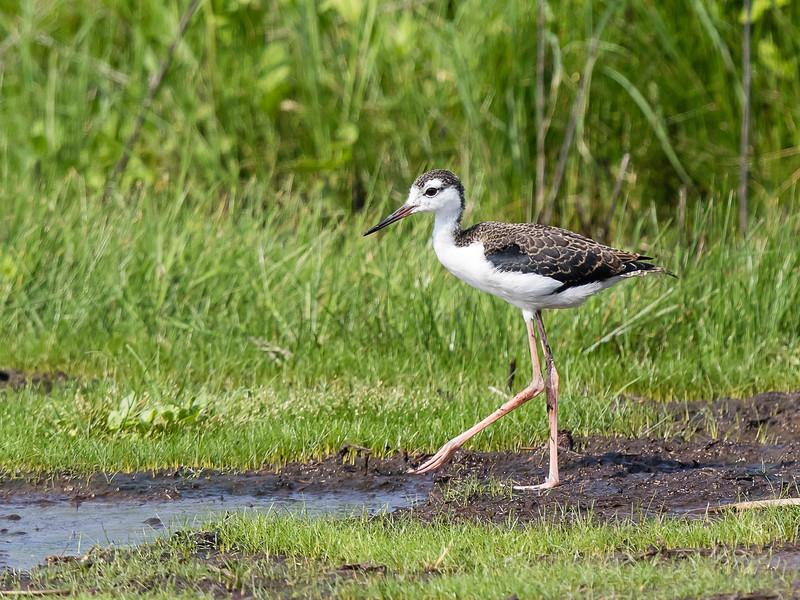 Black-necked stilt fledgling