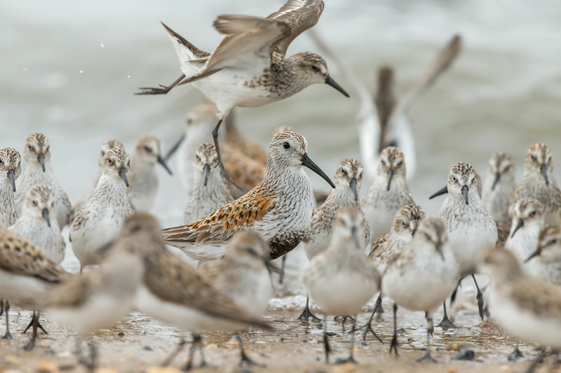Dunlin in the Mix
