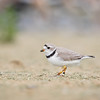 """6E4"" A Piping Plover"
