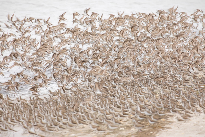 Dance of the Sandpipers